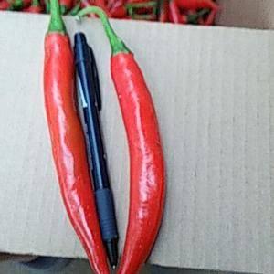 美人椒大量供应品种好,质量优。18766807858