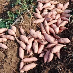 山东济宁地区红薯陆续出货,有需要的联系我13455590...