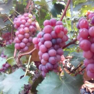 河南鲁山县万亩葡萄园成熟在即特寻全国各地经销商