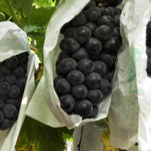 陕西大荔县红提葡萄大量上市!价格随行就行,质量最好。张涛...