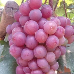 巨峰葡萄大量上市,颗粒大,颜色正欢迎各地老板咨询洽谈