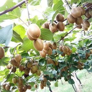 陕西眉县徐香,翠香,红阳猕猴桃开始上市了,需要的朋友联系...