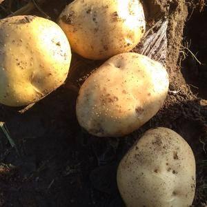 自己种的土豆,品种是尤金885,大约有七八十万斤左右,口...