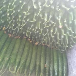 油亮密刺黄瓜大量上市,需要的可以联系我