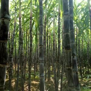 现已有黑皮果蔗可以上市,需要的加紧了,187759449...