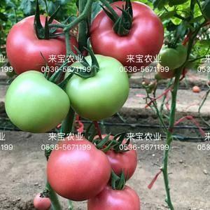 本公司专业主做茄果类品种多年,西红柿品种齐全,质量优先选...