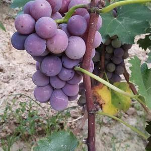 巨峰葡萄大量上市。实力代办专收好货。