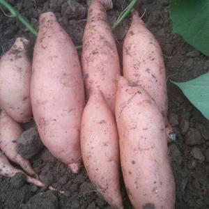 合作社种植基地龙薯九号大量上市。