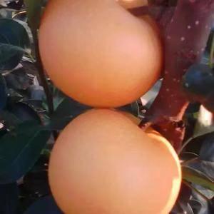 大量供应秋月梨,8月30号左右上市,秋月果型高壮,冷库储...