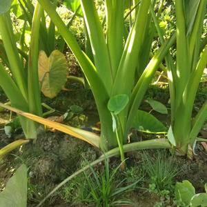 今年南丰大面积种植荔浦芋头,芋头价格比去年低很多