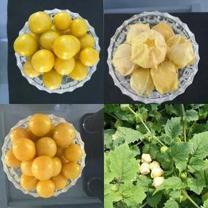 菇娘果大量上市,豆大,皮黄,没有裂果,质量好,需要的老板...
