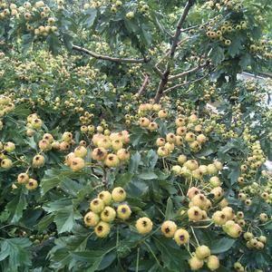 新鲜的甜红子山楂即将上市,今年产量低,但果子品质非常好,...