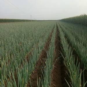 有需要长白大葱,现在货不多有需要赶快联系了。