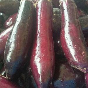 陕西茄子大量上市了,有园茄子,长茄子需要的联系15929...