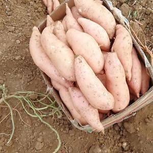 山东济宁地区红薯开始出货,老板们可以定购了。134555...
