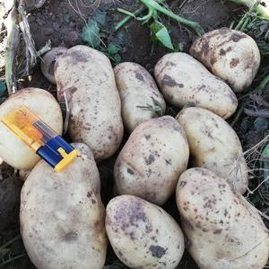 226出货,薯型好,个头均匀,沙土地种植,无青头虫眼!价...