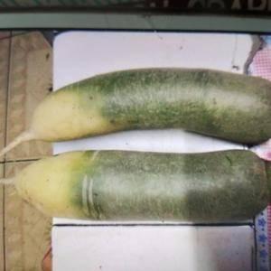 大量供应吉林省农安县青萝卜,水果萝卜,红皮萝卜,红心萝卜...