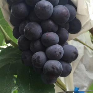 陕西红提葡萄,户太葡萄大量成熟了有需要的电话联系1592...