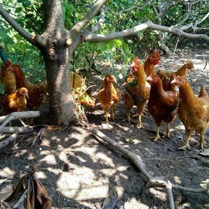 放养的土鸡还有土鹅低价销售。