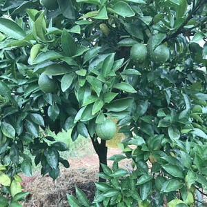 我们的脐橙一年只产一次,吸收了足够的水分。
