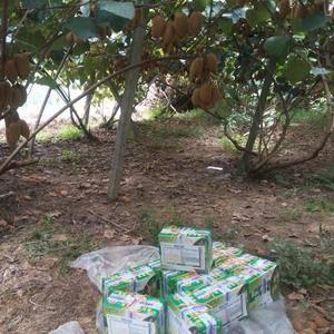 大量绿心猕猴桃果出售。在湖南省凤凰县。价格1.6到2元。...