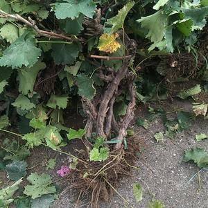 大量供应葡萄树三到五年苗电话15932211487微信同...