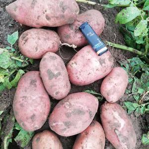 薯型好,颜色好,黄沙地种植,没有病虫害~