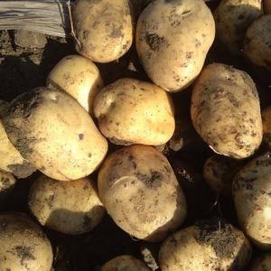 自己种的土豆,品种是尤金885,外形美观口感好,地址在吉...