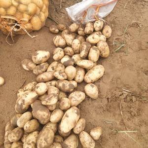 荷兰十五,2两起步个头大薯型好纯沙地货,货不多15529...