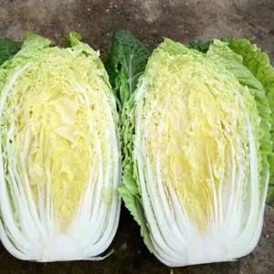 锦州凌海地区9月20日黄心大白菜即将上市,欢迎收购商前来...