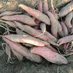 沙地红薯烟薯25各种规格都有热销中