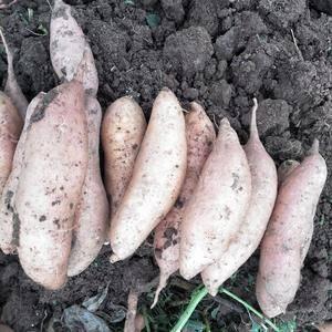 大量好红薯以上市,龙薯九.19.25.26以上市价格低质...