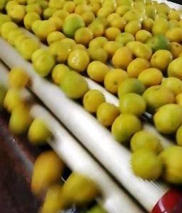 蜜桔是我地水果中产量最大的品种,具有口感好皮博,果形好的...