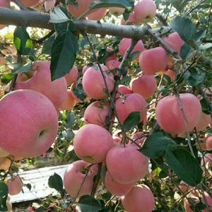 红星、红将军、早熟红富士苹果大量上市。155642553...