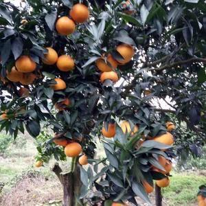 大量供应爱媛38,果冻橙,颜色红,皮张细腻,味甜多汁,需...