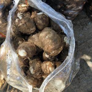 产地供应芋头 大量上市大中小球通货都有  欢迎新老客户前...