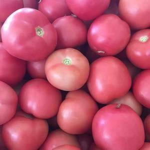 乐亭硬粉西红柿