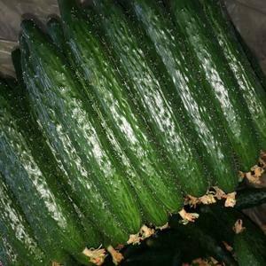 优质黄瓜大量上市,短巴蜜刺,黑亮,欢迎前来收购,1340...