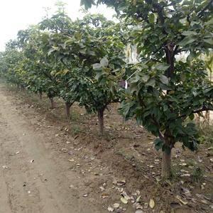 供应3-5公分葡萄树!5-15公分梨树,苹果树!!