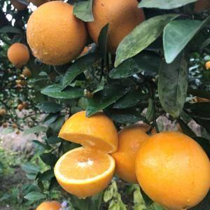 赣南脐橙富含人体所必需的各类营养成分,据检测,每100m...