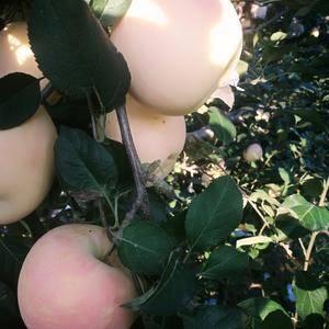自家果园优质红将军苹果,价电仪