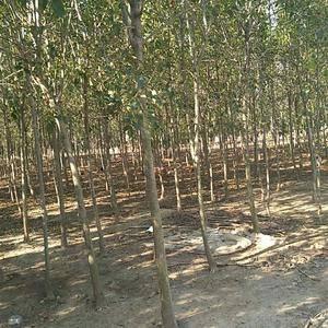 大量供应绿化品种,自蜡树,有需要自蜡树的请联系,电话,微...