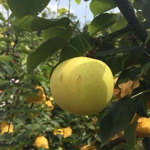 山东日照市大量供应黄金梨,另有丰水梨,又脆又甜,个大饱满...