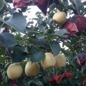 陕西省大荔县酥梨品种多,质量好,口感甜,有六月酥梨,早酥...