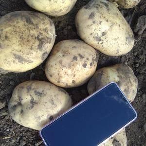 自己种的土豆,品种尤金885,价格便宜,外形美观口感好,...