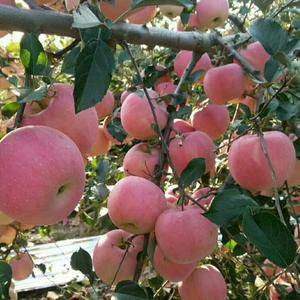 山东中秋纸袋红星苹果大量供应,红星苹果批发产地果园直供,...