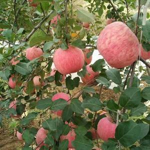 山东红星苹果,红将军苹果产地大量上市了,货源充足,质量保...