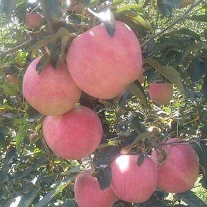 13013511121——山东红星苹果,红将军苹果大量上...