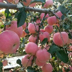 山东红星,红将军,红富士苹果大量上市量大.颜色好.果面光...