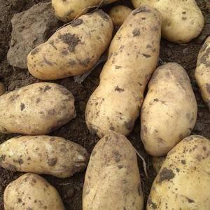 自己种的土豆,河兰系列,个头大,外形美,口感好,有需要的...